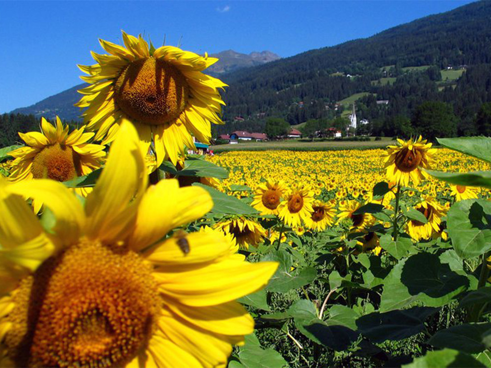 sommer-sonnenblumen