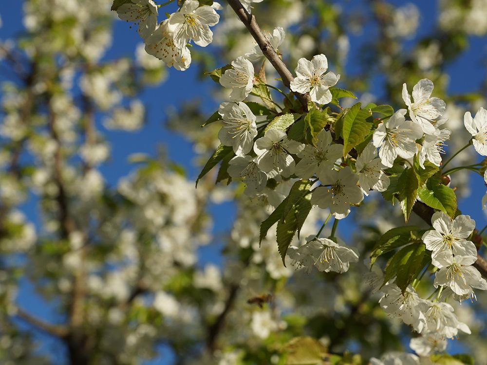 spring-baum